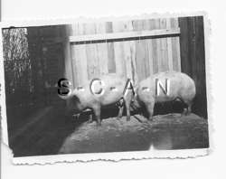 WWII German RP  Animal  Two Pigs  Swine  Pig Pen  1940s