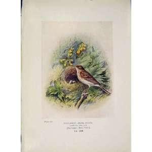 Tree Pipit Bird Egg Colour Antique Old Print Fine Art