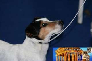 Jack Russell Terrier Liscio ENCI ROI  a Eboli    Annunci