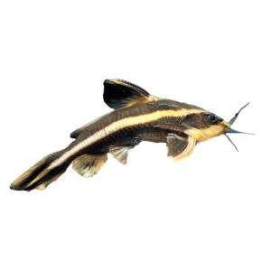 Striped raphael catfish baby for Semi aggressive fish